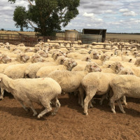A/c Juilette - 340 Merino Ewes, May/June 18 drop, October shorn, Belka Valley blood, 1 mk, mlsd, depastured Anden WS rams 22/11/19, SIL.